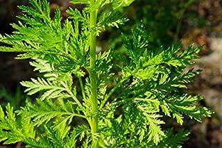 1000 Artemisia annua Seeds,Sweet Wormwood, Sweet Annie, Sweet sagewort,