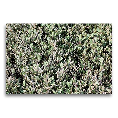 CALVENDO Premium Textil-Leinwand 75 x 50 cm Quer-Format Portulak-Keilmelde auf Einer Salzwiese am Watt, Leinwanddruck von Konrad Weiß