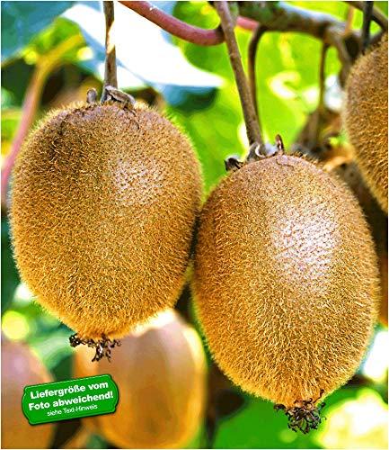 BALDUR Garten Selbstfruchtende, Kiwi 'Solissimo® renact®',1 Pflanze großfruchtig, Actinidia deliciosa