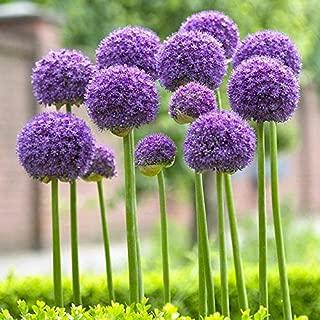Allium Gladiator 15 Flower Bulbs 16/18cm   Purple   from Longfield Gardens