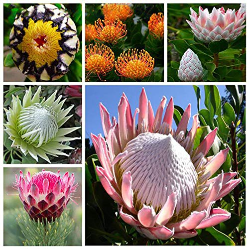 TENGGO Egrow 50 Teile/Paket Protea Samen Seltene Protea Cynaroides Bonsai Einfach Pflanzen Seltene Bonsai Blume Bonsai Seltene Blume