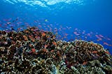 Posterazzi Poster Print Collection Schooling Anthias Fish and Healthy Corals of Beqa Lagoon Fiji Terry Moore/Stocktrek Images, (34 x 22), Multicolored