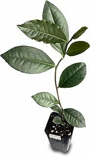 Camellia Sinensis Variety Assamica Live Tea Plant