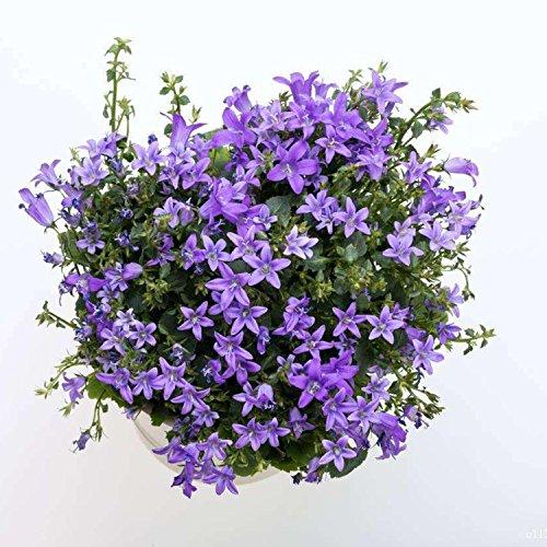 ADOLENB Seed House - Campanula Semillas de flores Bonsai Semillas de flores Plantas de jardín