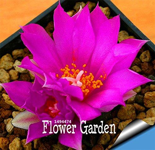 Promotion! 100PCS / Paquet Meilleures rares Graines Cactus Fleur, forme géante, tolérante Plante vivace Succulent thermique De Flores, # 3JMT83