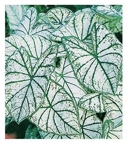 Fancy Leaf Caladium - White Christmas- Large Size Root - Zones 9-11