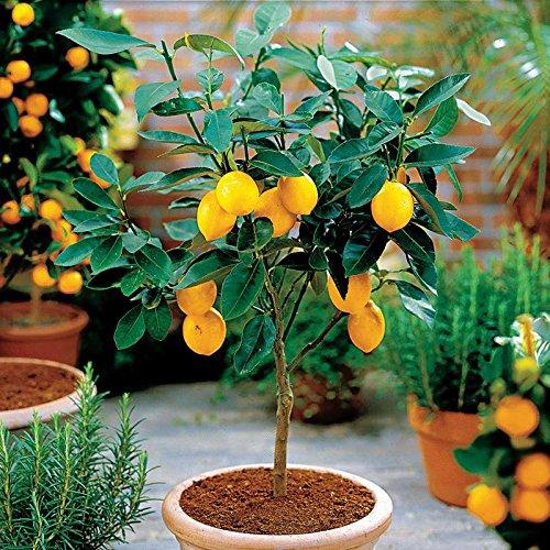 Bonsai Tree Dwarf Berserkers 10 Plant Dwarf Lemon Tree Plant-Natural Perfume Indoor, DIY Home Garden Bonsai, Fragrant