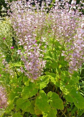 TROPICA- Muskateller-Salbei (Salvia sclarea)- 200 Samen