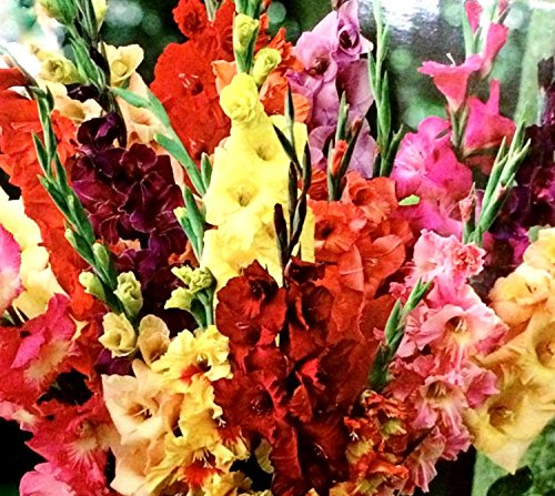 GLADIOLUS, BULB (20 PACK) PASTEL MIXED , MIXED PERENNIAL GLADIOLUS BULBS, FLOWERS