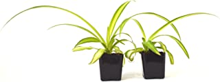 9GreenBox - Ocean Spider Plant - Easy to Grow - Cleans the Air - NEW - 2 Pack