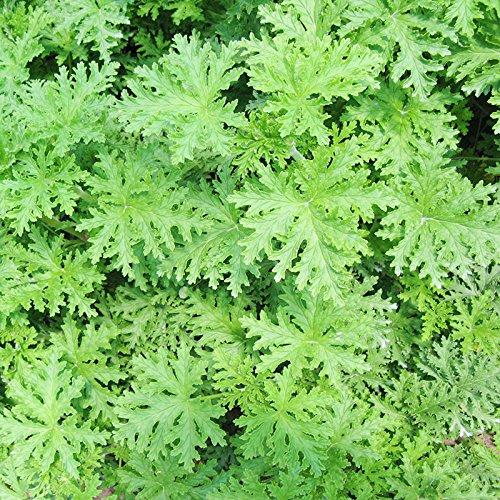 20seeds / sac Miniascape graines parfum entraînement cécidomyie herbe, la chambre à coucher plante spéciale d'été
