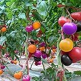 TOMASASeedhouse- 100 Piezas de Semilla de Tomate Orgánico, Semillas de Tomate Arcoiris Semillas de Hortalizas Tomate Morado para Jardín, Granja