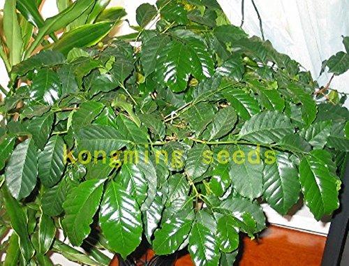 20 Pcs Coffee Bean Seeds Seed Balcon Bonsaï planter des graines de fruits café cerise maison grandir jardin facile