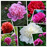 Cotton Candy Peony Mix (50+) Seeds Flowers Pack Easy Grow Planting for Outdoor Pink red White