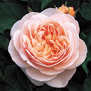 Best sweet juliet david austin rose Reviews