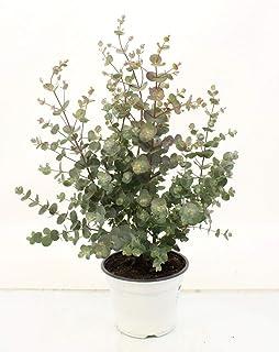 Planta de interior de Botanicly – Eucalipto – Altura: 35 cm – Eucalyptus
