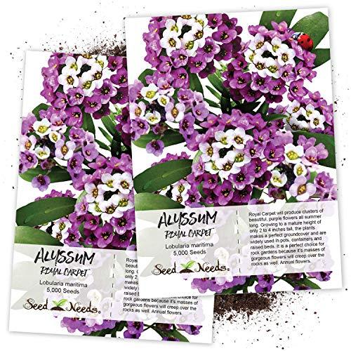 Seed Needs, Royal Carpet Alyssum (Lobularia maritima) Twin Pack of 5,000 Seeds Each