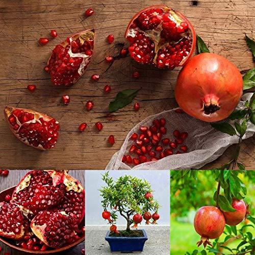 Keptei Samenhaus- Granatapfelbaum Samen Punica Granatum Zwerg Granatäpfel Seed Zierbaum Bonsai winterhart mehrjährig für Garten usw (20)