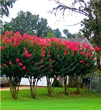6 Pack - Arapaho - Red Flowering Crape Myrtle Trees - Lagerstroemia - Quart Container - 1 Foot Tall