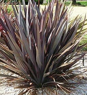 Phormium Tenax Atropurpureum Purple New Zealand Flax 10 SẸẸDS