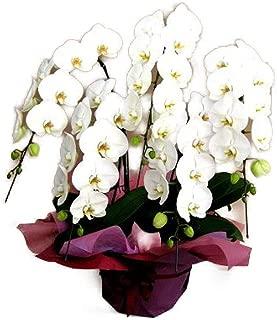 グランドグルー 胡蝶蘭 5本立ち 白色 大輪 花 ラン フラワーギフト プレゼント コチョウラン