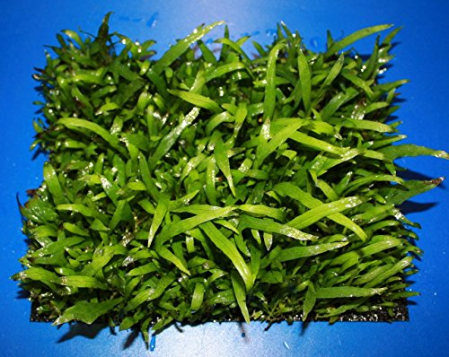 WFW wasserflora Green-Wall XL Trident Javafarn/Microsorum pteropus Trident auf Matte ca. 170x140 mm