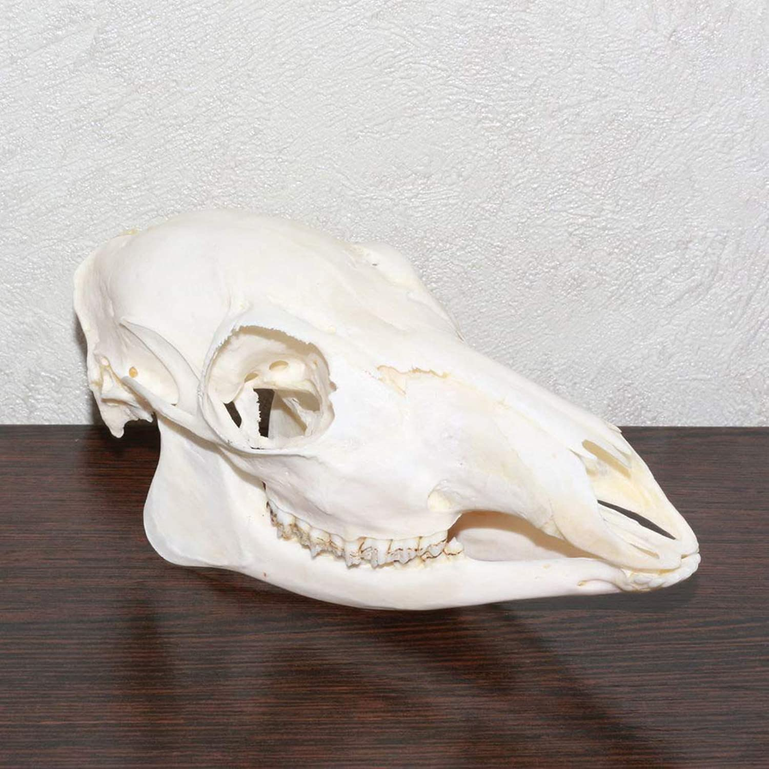 Siberian Musk Deer Taxidermy Skull  MuskDeer Cleaned Skull, Jaws, Bones, Skeleton, Teeth Sale  Real, Decor, LIFESIZE, Genuine  ST4690