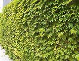 Fenway Park Golden Boston Ivy Plant - Parthenocissus - 2.5' Pot