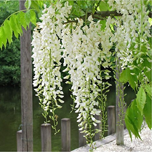 Planta de guía – Glicina de China blanca – Wisteria sinensis ...