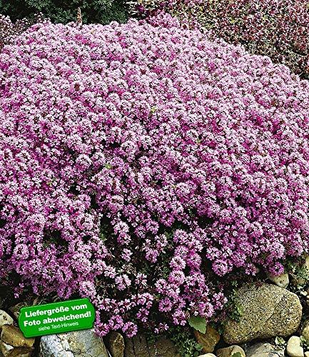BALDUR-Garten Winterharter Bodendecker Langhaariger Gebirgs-Thymian, 3 Pflanzen Thymus praecox Polsterthymian Thymian Pflanzen winterhart