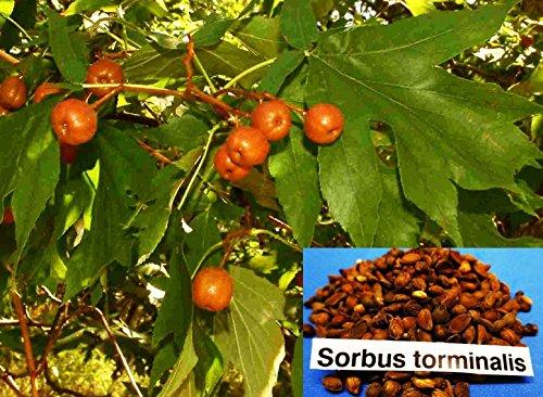 10 Samen Sorbus torminalis, Elsbeere, Baum des Jahres 2011