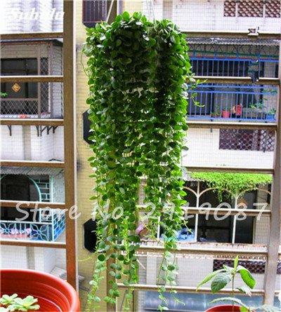 Pearl Chlorophytum Seeds 100 Pcs Hanging type de pot Chlorophytum fleurs Plantes d'intérieur air frais jardin résistant au froid 8