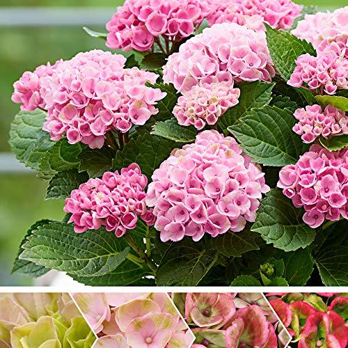 Hydrangea macrophylla'Revolution Pink' |...