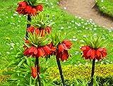 10 pcs/sac Couronne Imperial Seeds 9 couleurs fritillaire impériale Graines de couverture végétale Bonsai Graines de fleurs Pot plante jardin 3