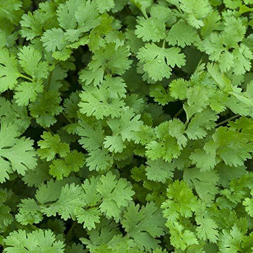 ca. 500 Samen Koriander Caribe - Coriandrum sativum, vielseitig verwendbar