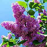 Las semillas 100pcs azul japonesa lila semillas de flores de clavo de olor (muy fragantes) para el hogar y garden.Full flores raras árbol del clavo de semillas 3