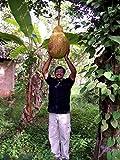 Vistaric Jackfruit Semillas Tropicales Frescas, Semillas de...