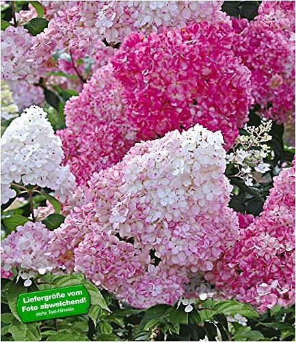9x9 cm-Topf, ca. 15-20 cm hoch, ab 3 Triebe BALDUR-Garten Freiland-Hortensien 'Vanille Fraise®', 1 Pflanze Hydrangea paniculata Gartenhortensie winterhart