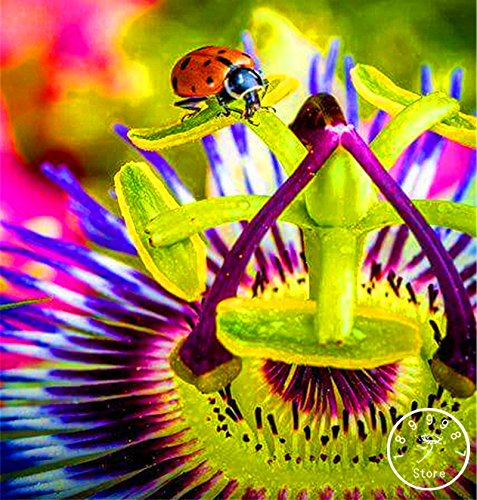 10 graines Passion Flower Seeds Vine Fruit Passiflora Graines de plantes bonsaï Time-Limit maison jardin, # H5RHJ7 bricolage
