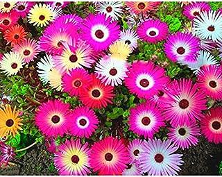 a74703eeaea2a Leaftree Gerbera Samen, Eis Daisy Samen Chrysantheme Samen Blütenblatt  Blume Pflanzen Für Hausgarten Yard Decor