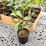 9EzTropical - Green Tea (Camellia sinensis) - 1 Plants - 2 Feet Fall - Ship in 1 Gal Pot