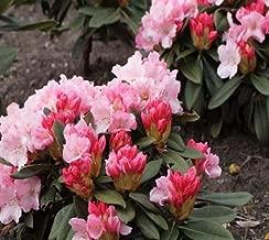 1 Quart Pot Mardi Gras Rhododendron #NGMN