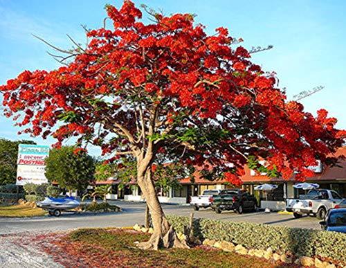 Rarität Exotische Schnellwachsende Flammenbaum Samen 50Pcs, Rote Delonix Regia Red Tree Flamboyant Baumsamen Royal Poinciana Saatgut Caesalpinia Pfauenstrauch Rote Blüten Zierpflanze