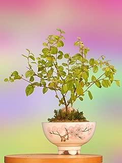 Bonsai Tree Gift with Oriental Indoor Sweet Plum Bonsai
