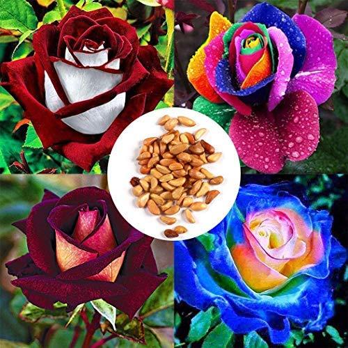 Acecoree Samen- 10/20/50 Stück Bunt Rosen Samen Duft-Rose Saatgut mehrjährig winterhart,lange Zeit Blüht Rose Blumensamen für Terrasse/Balkon/Garten