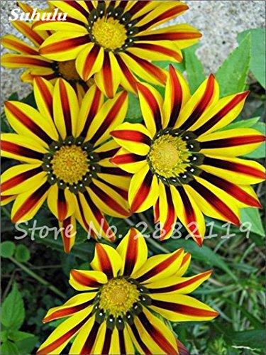 Gemischte Riesensonnenblumenkerne 20 PC Russian Sonnenblumensamen Helianthus annuus Zier Bonsai für Heim & Garten 23 Einpflanzen
