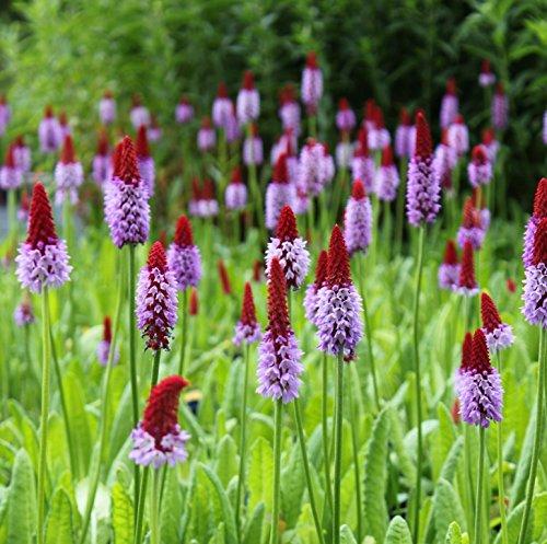 2er-Set - Primula vialii - Orchideenprimel, rot-violett - Wasserpflanzen Wolff