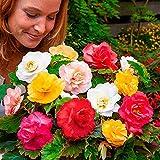 Ultrey Samenshop - 100 Stück Duft-Begonien-Mix Samen Begonie Glühbirnen duftend Saatgut Sommerblumen Blumensamen Mischugn winterhart mehrjährig