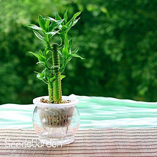 Vente! 6 types Lucky Bamboo Choisissez Graines en pot Variété Dracaena complète Graines l'herbe Taux 95%, 100 semences / Bag, # KH5L2H