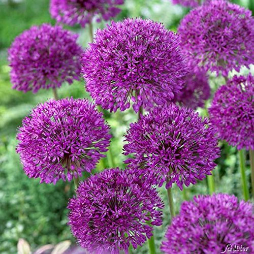 Allium Purple Sensation - 5 Zwiebeln Zierlauch/Kugellauch - Blumenzwiebeln zum Pflanzen und Verwildern, lila Blüten, mehrjährig, winterhart von Garten Schlüter